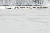 Geese on a frozen lake_DSC1540.jpg