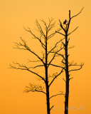 Eagle in the Tree_NIK3376.jpg