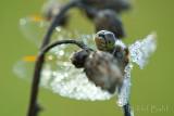 Dewy Dragonfly2_NIK9605.jpg