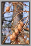 Larch tree