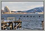 Cormorant .View Namsos harbour .