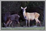 Deer in the evening sun