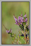 Røsslyng / Common heather