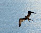 Frigate Bird IMG_8201.jpg