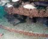 Black Sea Bass love the Eco System