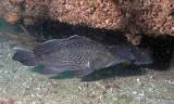 P5110042 Black Sea Bass
