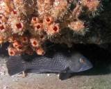 Black Seabass