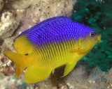Cocoa Damselfish juv