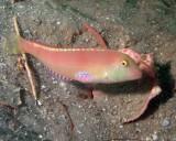 Pearly Razorfish Female