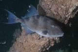 Triggerfish P6100054