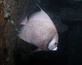 Gray Angelfish, a rare find this far north