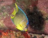 Juv Blue Angelfish P7040003