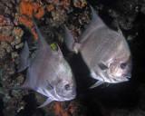 Atlantic Spadefish P7040029