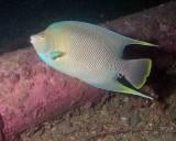 Blue Angelfish P7040055