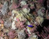Spiney Murex shells spawning P7040056