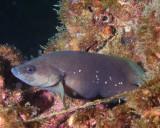 Whitespotted Soapfish P7040081