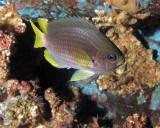 Yellowtail Reeffish