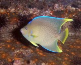 Small Blue Angelfish P7020018