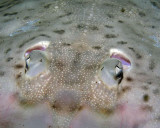 Clear-nosed Skate