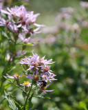 IMG_0126 Asters