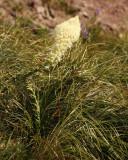 IMG_0146 Bear Grass