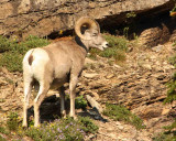 IMG_0168 Big Horn buck