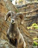 IMG_0336 Big Horn Sheep
