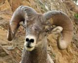 IMG_0344 Big Horn Sheep