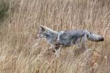 IMG_0014 Coyote