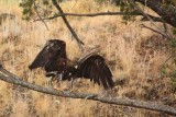 IMG_0119 Golden Eagle drying out after drowning an osprey