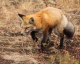 IMG_0186 Fox on the hunt