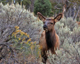 IMG_0274 Elk among sagebrush