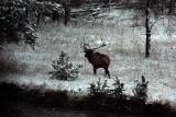 IMG_0319 Elk at dusk