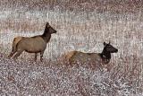 IMG_0013 Elk Does
