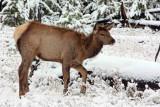 IMG_0062 Elk fawn
