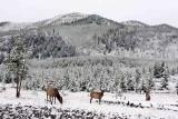 IMG_0065 Elk in the Snow