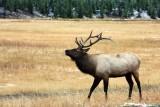 IMG_0284 Bull Elk