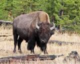 IMG_0017 Bison
