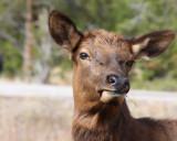IMG_0070 Cheeky young elk