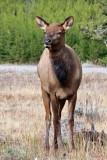 IMG_0088 Elk Doe