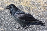 IMG_0126 Raven