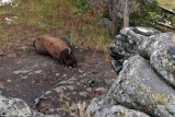IMG_0196 Sleeping Buffalo - it was snoring loudly!