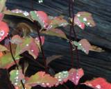 IMG_0054 Water drops on fall foliage