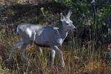 IMG_0143 Mule deer fawn