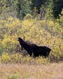 IMG_0301 Bull Moose