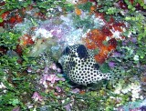 P1010060a_SpottedTrunkfish.jpg