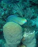 P1010089a_QueenParrotfish.jpg