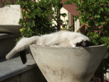 Museum cat sleeping in a planter