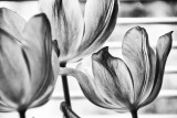 Pink Tulips In Black And White