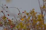 Dzierzba rudogłowa